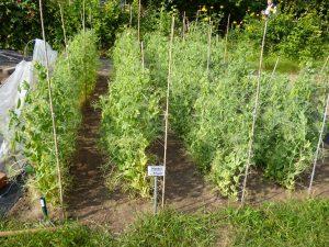 Bild von Erbsen im Genetikgarten.