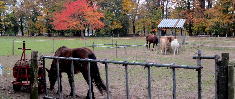 Bild von Scharfenberger Pferde beim Fressen.
