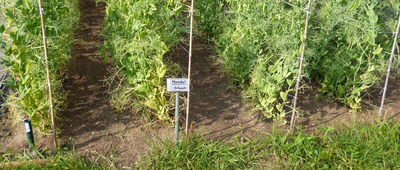 Bild von Erbsen-Pflanzen aus unserem Schulgarten, Genetik Beet.